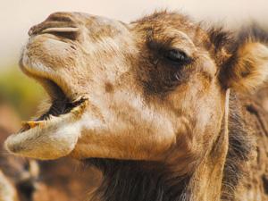 natur-doku afrika, serie, doku, dokumentation, afrika, kamel, bbc, orf, dokuserie, sahara, der ungezähmte kontinent, 3sat