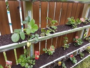 vertical garden bauen so pflanzt du erdbeeren in der dachrinne. Black Bedroom Furniture Sets. Home Design Ideas