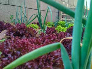 Hochbeet, Tipps, Bauen, Paletten, Salat