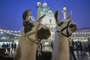 lamas, james, luis, karlsplatz, bio christkindlmarkt, advensmarkt, karlskirche, wien