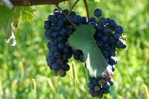 Triff den Bussard! Am schönsten Weinwanderpfad Wiens