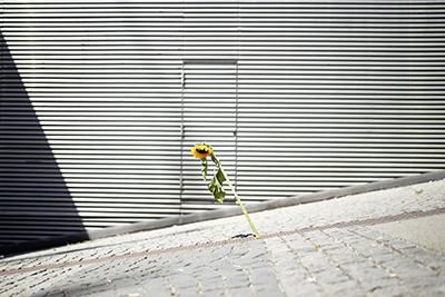 sonnenblume, einsam, natur, wien, mauerblümchen, fotowettbewerb, gewinner