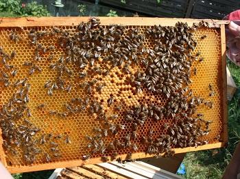 bienen, waben, honig selbst machen, arbeiterinnen