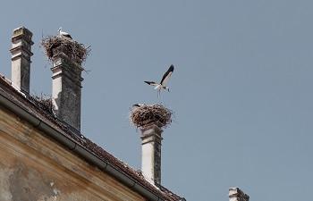 Störche, Nester, Schornsteine, Schloss Marchegg
