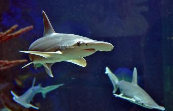 haus des meeres, wien, hammerhai, aquarium