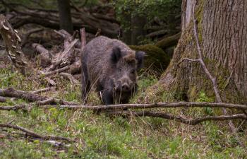 lainzer tiergarten, wildschwein, wildtiere, naturschutzgebiet