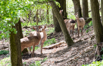 naturpark geras, naturschutz, sikawild
