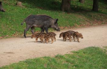 naturpark sparbach, wienerwald, wildschwein, frischlinge