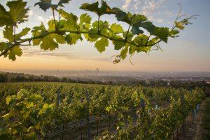 Weinwandertage abgesagt – doch die 4 Routen locken auch so