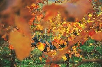 Rote Weinreben am Bisamberg