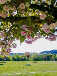 kirschblüten, frühling, spaziergang, donauinsel, kirschenhain, wien,