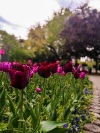 stadtpark, frühling, ausflug, wien, tipp, tulpen, blumen,