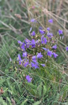 trockenboden, glockenblumen, naturschutzgebiet